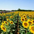 Tour de France Sunflowers by procycleimages