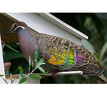Bronzewing Pigeon two Photographic Print