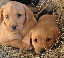 Two Brothers - Yellow Labrador Puppies by Natasha Von Bujnoch