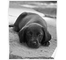 Dreamer B/W - Labrador puppy in deep Thoughts Poster