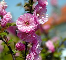 Blossoms by vbk70