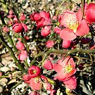 Quince Flowers and Thorns by Kate Eller