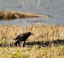 Carrion Crow Crowing by kernuak