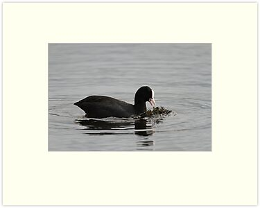 Eurasian Coot Feeding Side by kernuak