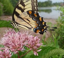 Tiger Swallowtail on Milkweed by SenskeArt