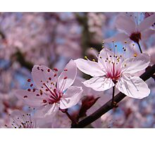 Pastel Spring Tree Blossoms Pink Blue Sky Baslee Troutman Photographic Print