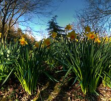 Daffs in Wilts by Rob Hawkins