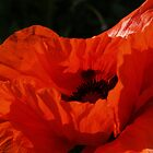 Glory of Poppy - Quakertown, PA by Anna Lisa Yoder