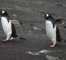 Marching two abreast, Gentoo penguins. by robinmaher
