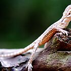 Bearded Dragon - Juvenile by voir