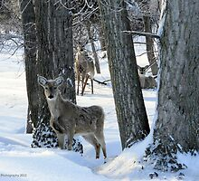 3 Deer in a Winter Wonderland by Barberelli