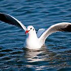 Gull in the water (Larus ridibundus) by Dfilyagin