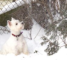 Westie Whiteout by MarianBendeth