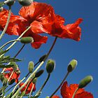 Red Poppies to the Sky - Quakertown, PA by Anna Lisa Yoder