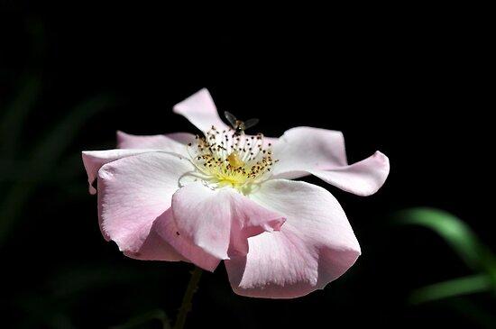 pink petals & dainty wings  by Karen E Camilleri