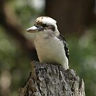 KOOKABURRA AT CRONULLA  by briangardphoto