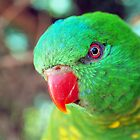 SCALY BRESTED LORIKEET @ ACT  by briangardphoto