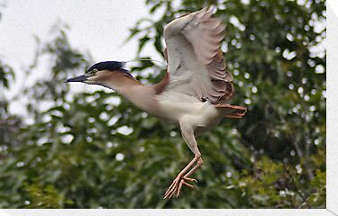 Heron   in flight by jainiemac