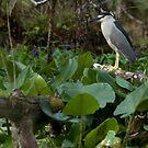 Black-Crowned Night-Heron by JimSanders