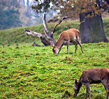 Red Deer Does by Trevor Kersley
