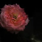 Pink Rose Dying by Guilherme Milner