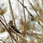 Song Sparrow Near Creek in March by Robin Clifton