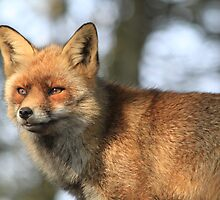 Red Fox - 847 by DutchLumix