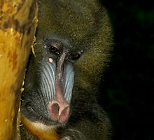 Shy Eyes (Mandrill) by Robert Miesner