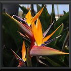 Birds of Paradise by Charles Hallsted