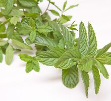 fresh mint on white(Mentha) by rajeshbac