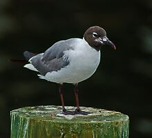 Seagull on a Piling by Robert H Carney