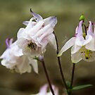Columbine by Karen Havenaar