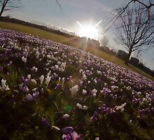 Crocus sunset by redbublesnapper
