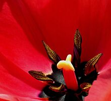*Tulip Macro* by DeeZ (D L Honeycutt)