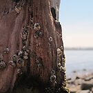 Holy Island - Barnacle covered post by Kestrangel