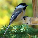 Sweet Chickadee! by PatChristensen