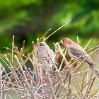 House Finches by Trudy Wilkerson