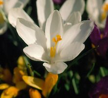 Spring crocuses by hummingbirds