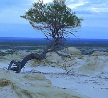 Tree in the sand dunes Lake Mungo  by bobby1
