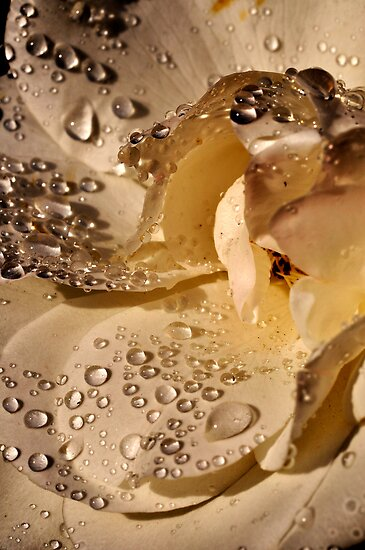 Golden jewels on a silky soft rose petal by Darren Bailey LRPS