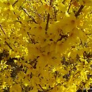 Forsythia in Denver, North Carolina by Debbie Robbins