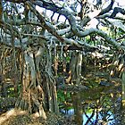 Many Banyan Trees - Branches are Inter-woven  by Horst Dammer