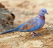 Laughing Dove taken  Samburu NP in East Africa.  by Alwyn Simple