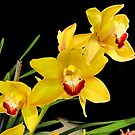 Bright Yellow Cymbidiums by Phaedrasgate