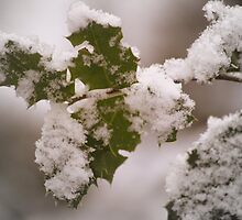 snow covered holly leaves by Dawna Morton