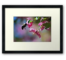 Bumble Bee on a Blossom Framed Print