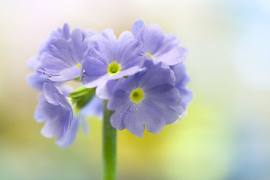 Primula by Mandy Disher