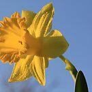 Daffodil Days by Shelley Neff