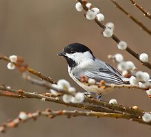 Black-capped Chickadee On Pussy Willow by Michaela Sagatova