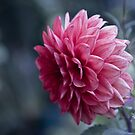 The Dahlia by Cathy Middleton